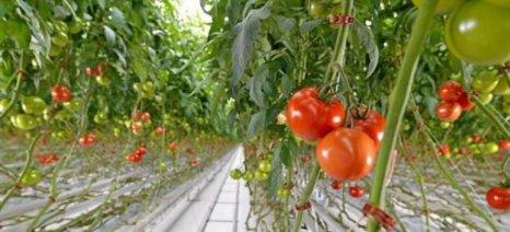 Νέα ασθένεια απειλεί τις ελληνικές καλλιέργειες τομάτας και πιπεριάς