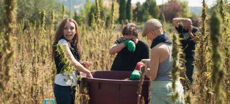Ζώνες καλλιέργειας και μηχανισμό ελέγχου συστήνει το ΥΠΑΠΕΝ για τη νόμιμη καλλιέργεια κάνναβης