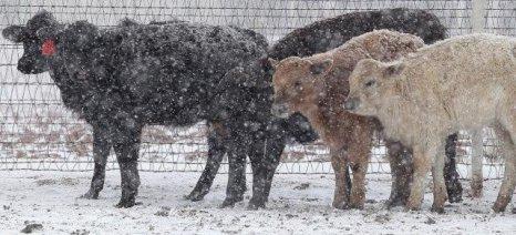 Πάνω από 30.000 αγελάδες σκοτώθηκαν από τη χιονοθύελλα στο Τέξας