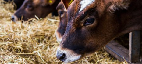 Τα συμπτώματα της οζώδους δερματίτιδας στα βοοειδή και τι να προσέξετε