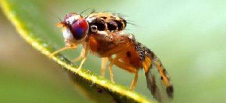 Συμβουλές για την αντιμετώπιση της μύγας της Μεσογείου, της φυτόφθορας και των πενικιλλίων στα εσπεριδοειδή