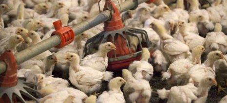 Εντοπίστηκε ο ιός της γρίπης των πτηνών σε φάρμα αυγοπαραγωγής στην Αρκαδία - μέτρα προστασίας