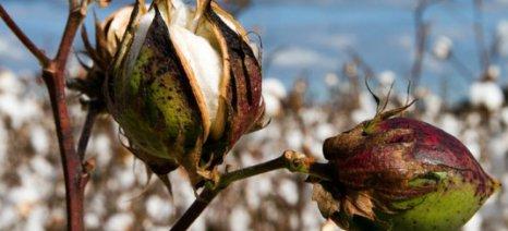Σε εξέλιξη οι εκτιμήσεις ζημιών στις βαμβακοκαλλιέργειες της Βοιωτίας