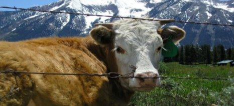 Κτηνοτρόφος αφαίρεσε τα κουδούνια από τις αγελάδες ύστερα από δικαστική απόφαση