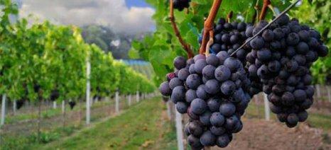 Συμφωνία για μεταφορά αδειών φύτευσης αμπελώνων – αλαλούμ για τους οίνους χωρίς αλκοόλ