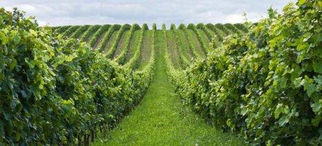 Στην κατεύθυνση των αιτημάτων της ΚΕΟΣΟΕ τα νέα κριτήρια αδειών φύτευσης αμπελώνων