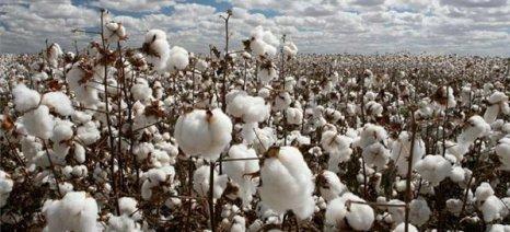 Β. Κόκκαλης: «Το βαμβάκι πρέπει να αντιμετωπιστεί ως εθνικό προϊόν»