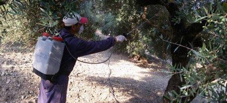 Χανιά: Αγωνία για το δάκο της ελιάς από τους παραγωγούς