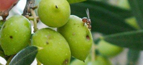 """Ο δάκος... """"φέρνει"""" στο Ηράκλειο τον γ.γ. του υπουργείου Αγροτικής Ανάπτυξης, Νίκο Αντώνογλου"""