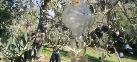 Οι δακοπαγίδες στο δήμο Μεσσήνης δείχνουν ότι το πρόβλημα είναι μεγάλο
