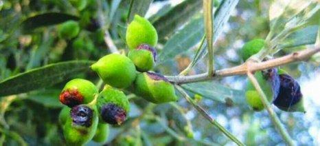 Οι πληθυσμοί του δάκου δείχνουν αξιοπρόσεκτη αντοχή στο νομό Λασιθίου