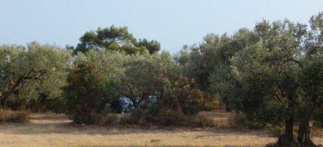 Δακοπαγίδες στην ελαιοκομική ζώνη Μάκρης – Αλεξανδρούπολης