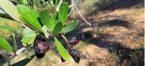 Εστία δάκου στο Ηράκλειο προκάλεσε μεγάλη καταστροφή στην τοπική παραγωγή