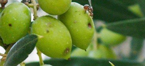 Υψηλοί πληθυσμοί δάκου παρατηρούνται στις ελιές της Φθιώτιδας