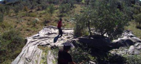 Απροστάτευτες από το δάκο 14 περιοχές της Μεσσηνίας