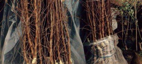 Κλοπή 4.000 δενδρυλλίων αχλαδιάς και καρυδιάς στον Τύρναβο