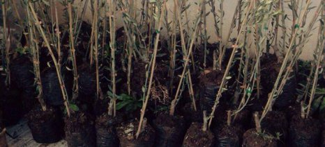 Μητρική φυτεία για φυτοϋγειονομικά ελεγμένο πολλαπλασιαστικό υλικό ελιάς δημιουργεί το ΙΕΛΥΑ