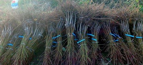Πιάστηκαν επ' αυτοφώρω να ξεριζώνουν ξένα δέντρα από αγροτεμάχιο στην Ημαθία