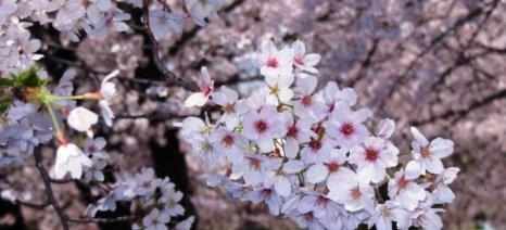 Τηλεφωνικά η αναγγελία ζημιών στον ΕΛΓΑ για τις παγετόπληκτες δενδρώδεις καλλιέργειες της Λάρισας
