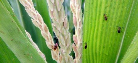 Το Diabrotica σε καλαμπόκια της Καλαμπάκας εντόπισαν γεωπόνοι της Pioneer
