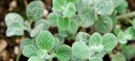 «Κρητικόν ίαμα» θα λέγεται το φάρμακο από ελαιόλαδο και βότανα, που βγαίνει στην αγορά το Νοέμβριο