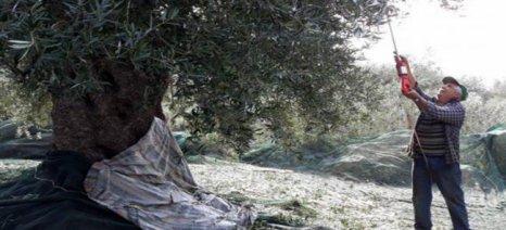 """Τιμή-""""ρεκόρ"""" για ελαιόλαδο από υπεραιωνόβιες κρητικές ελιές"""