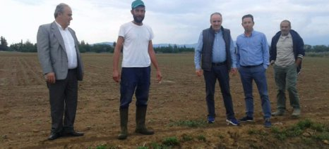 Μηδαμινές οι ζημιές από το χαλάζι της 26ης Μαΐου στον Αλμυρό - ζημιές σε ψυχανθή και τσάι από τις βροχές