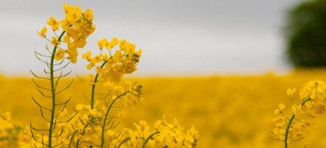 Πειράματα σε αγρούς της Θεσσαλίας για παραγωγή βιομάζας