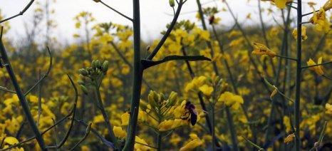 Επιστημονικές μελέτες υπό την ευθύνη της Bayer έδειξαν ότι η ελαιοκράμβη που έχει επενδυθεί με Clothianidin δεν επιδρά στην υγεία των μελισσών