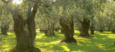 Η νέα χωροταξική μελέτη για Λέσβο και Λήμνο προκρίνει προστασία των ελαιώνων και των αμπελώνων