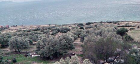 Άνεμοι 9 μποφώρ σαρώνουν τους ελαιώνες της Κεφαλονιάς - δείτε βίντεο