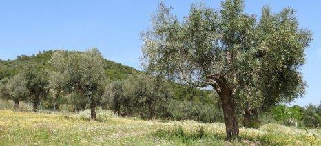 Κρήτη: Λίπανση των ελαιώνων με κατσίγαρο!