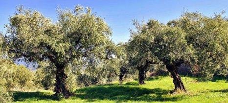 Έξαρση του δάκου στην ελαιοκομική περιοχή της Αλεξανδρούπολης