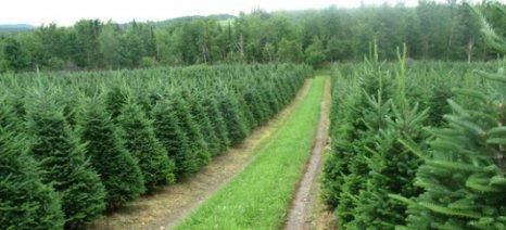 Από 29 Νοεμβρίου έως 24 Δεκεμβρίου η περίοδος εμπορίας χριστουγεννιάτικων δένδρων