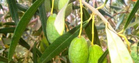 Η ανομβρία «καθυστερεί» τα μανταρίνια και ρίχνει τις ελιές στη Θεσπρωτία