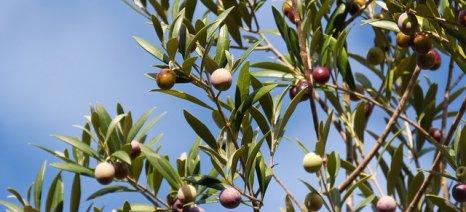 Ευνοϊκή για την ελαιοπαραγωγή της Κρήτης η κακοκαιρία των πρώτων ημερών του έτους