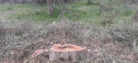 Επιτήδειοι κόβουν για ξυλεία ελαιόδεντρα στο Αγρίνιο