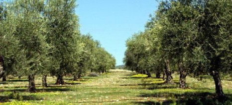 Χρήση του ζεόλιθου στην ελαιοκαλλιέργεια