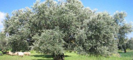 Έναν πρώτο απολογισμό για τις συνέπειες των καιρικών συνθηκών στην ελαιοπαραγωγή της Κρήτης κάνει ο ΣΕΔΗΚ