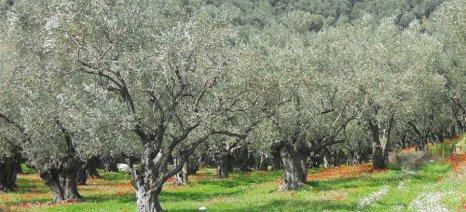 Επίδραση της ορθολογικής λίπανσης στην καλλιέργεια ελιάς