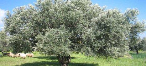 Πρόγραμμα κατάρτισης στην Ιταλία για ελαιοκαλλιεργητές από την Τριφυλία