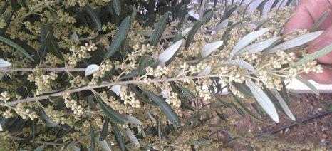 Ολάνθιστη ελιά στο Ηράκλειο προμηνύει βεντέμα