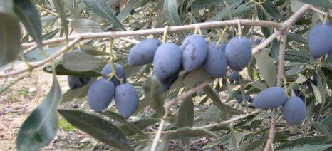 Τις τιμές αγοράς ελιάς Καλαμών και μαύρης ανακοίνωσε η Ένωση Αγρινίου