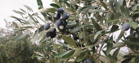 Με ερώτησή τους προς το ΥπΑΑΤ 26 βουλευτές του ΣΥΡΙΖΑ αποκαλύπτουν τεράστια αύξηση στην ασφαλιζόμενη αξία της ελιάς Καλαμών
