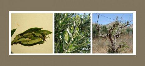 Να ξεκινήσουν από σήμερα ψεκασμούς κατά της μαργαρόνιας συνιστούν στους ελαιοκαλλιεργητές οι γεωπόνοι του Ηρακλείου