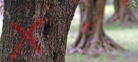 Υποψίες για νέο κρούσμα Xylella στην Ιταλία, που δείχνει επέκταση του βακτηρίου