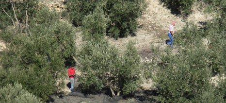 Το λιομάζωμα στη Μεσσηνία θα συνεχιστεί μέχρι τέλη Φλεβάρη λόγω έλλειψης εργατών
