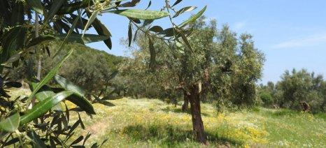 Το πλήρες γονιδίωμα του δέντρου της ελιάς αποκωδικοποίησαν Ισπανοί επιστήμονες