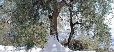 Αέρας και παγετός προκάλεσαν ζημιές στις καλλιέργειες της Πελοποννήσου