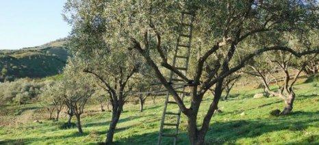 Μέτρια η χρονιά για χονδροελιά Αγρινίου και Καλαμών